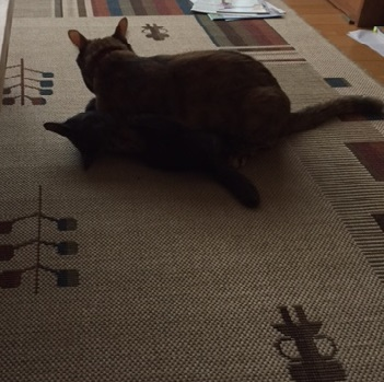 レスリング猫